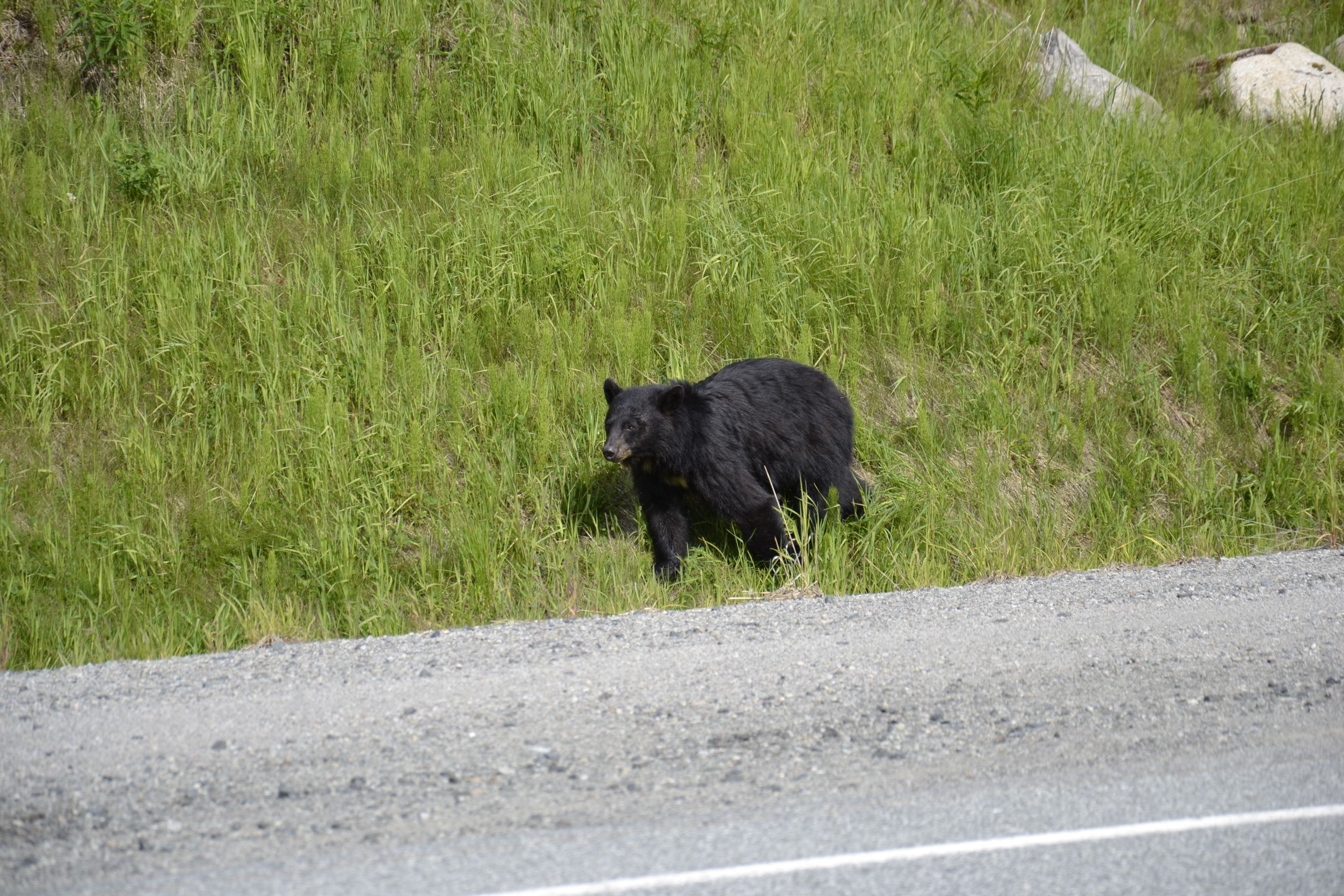 Bear Cub, Whistler, British Columbia, Canada
