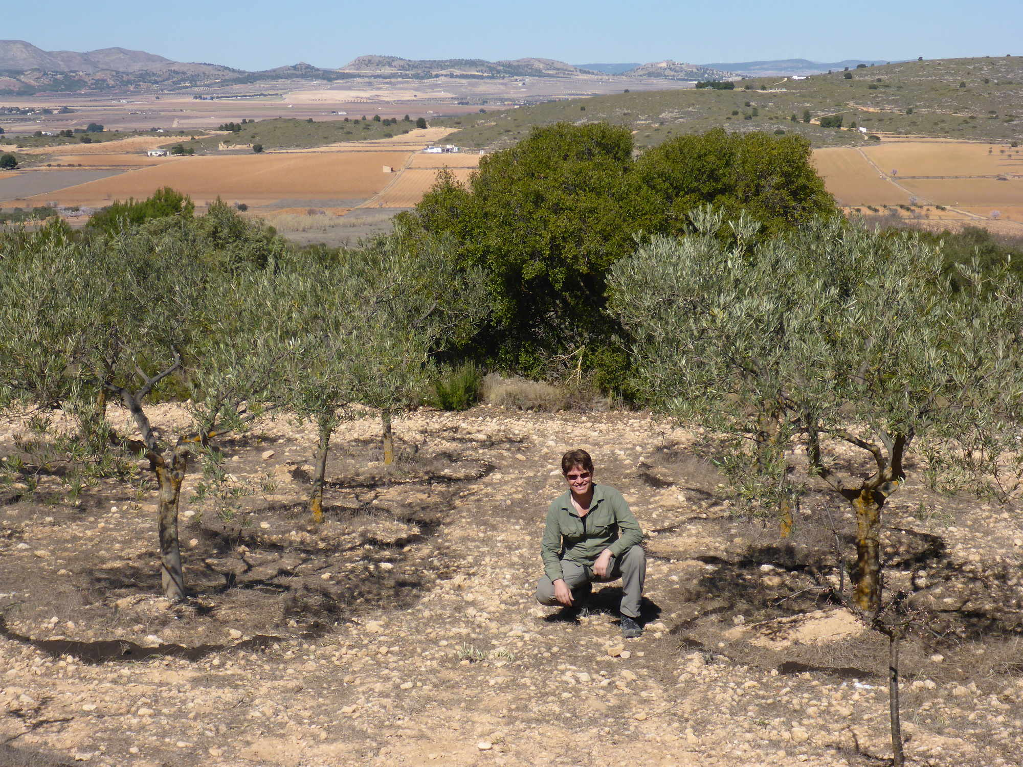 An Olive Orchard, Yecla, Spain
